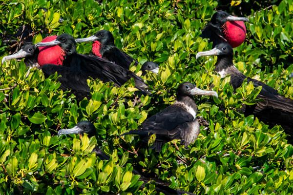 Male frigate birds on Sale Cay